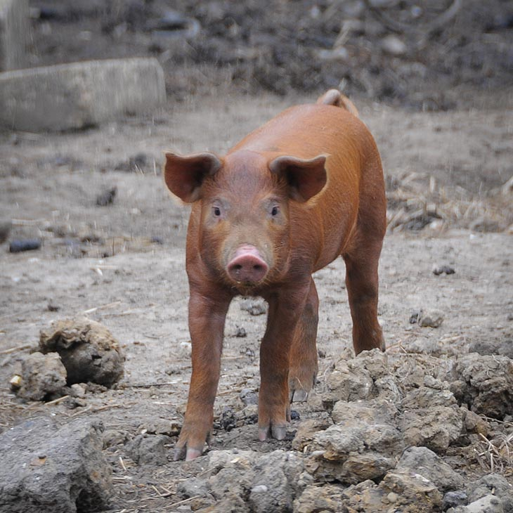 Small Brown Piglet